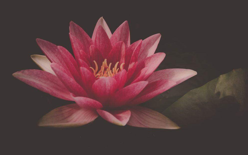 aquatic-plant-beautiful-bloom-612797