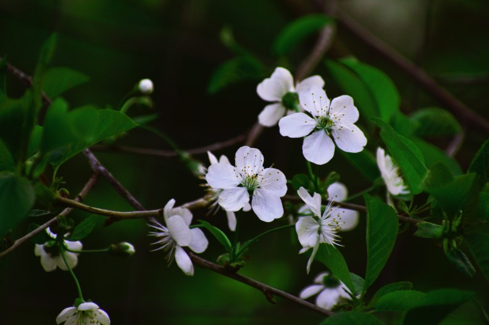 apple-blossom-beautiful-blooming-2127607